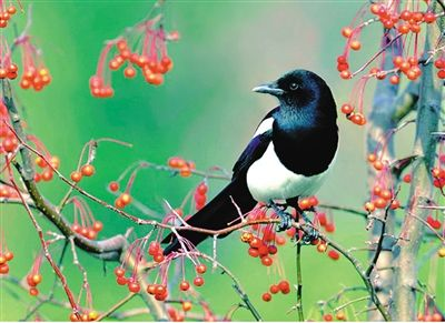 至今不忘,我5岁那年的一个秋高气爽的清晨,从杏树上飞下几只大喜鹊,围