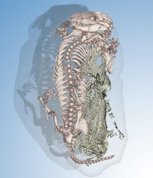 利用同步加速器成像,科学家发现了古代的一对怪异情侣,如图中所示,2.5亿年前一只哺乳动物祖先与一只初级水生两栖动物共处一个洞穴。   扫描结果显示这个两栖动物是个幼年个体,身上有几处断裂的肋骨但显示出正在痊愈的迹象,这表明它受到局部损伤后存活下来一段时间 了。这种动物大多数是水生,并没有自身挖穴的能力。研究人员认为在这种残疾的状态下,两栖动物小心翼翼的爬进隧道里寻求庇护,同时并没有打扰隧道里正在休 眠的Thrinaxodon。   研究人员排除了两种动物在死亡时正处于捕食者猎物打斗状态的可能性,