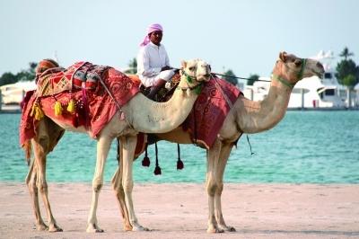 骆驼 阿拉伯半岛